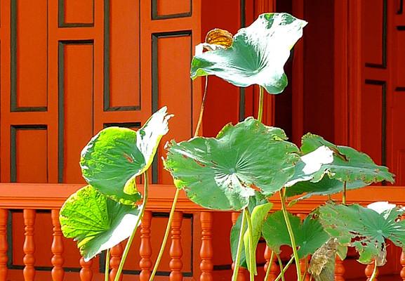 Planta de lotus davant de la Casa Vermella