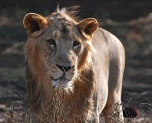 Lion indien du Gujarat