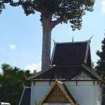 Wat Chedi Luang, sanctuaire du pilier de la ville de Chiang Mai, avec l'arbre diptérocarpe