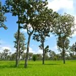 Plateau de Khorat Sud, paysage de rizières et d'arbres de teck