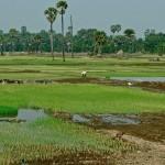 Plaine cambodgienne, rizières