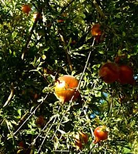 Grenadier du jardin : ce fruit est très répandu en Iran, comme boisson ou comme ingrédient de sauces et mets