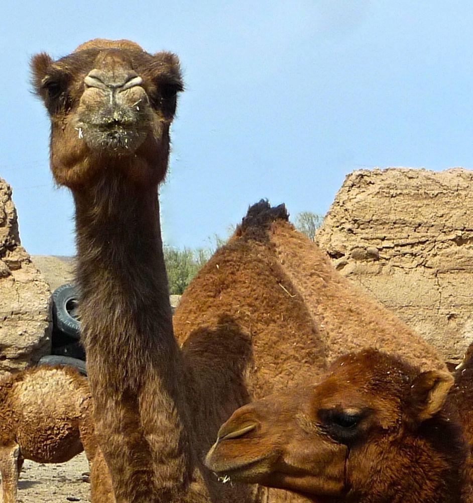 yazd zeyn-od din chameaux:4 2 26.10.13