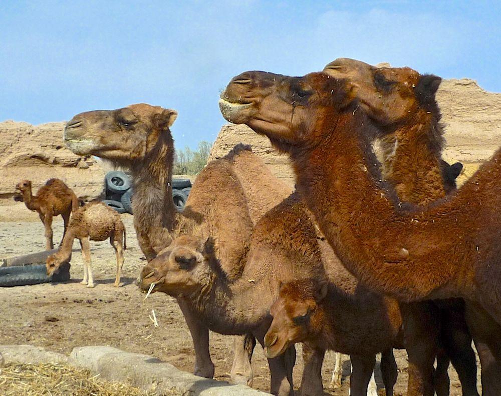 yazd zeyn-od din chameaux:5 2 26.10.13