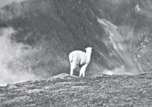 Col de Wilkakunka (5000 m), jeune alpaca
